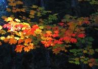 autumn vine maple 9 this one