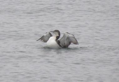 Loon spreading its wings in Bellingham.