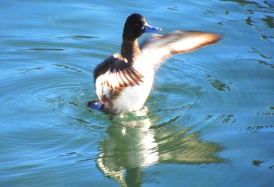 brown duck flapping this one
