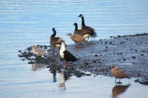 ducks Canada geese birds