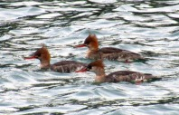 Trio of Merganser Ducks in Bellingham.