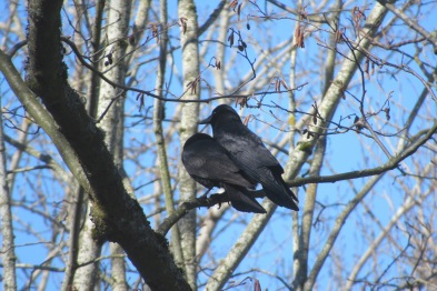 A Pair of Crows