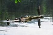 duck turtles heron 4 this one