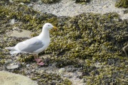 A seagull in the seaweed (photo by Karen Molenaar Terrell)