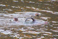Otters playing in Bellingham Bay.
