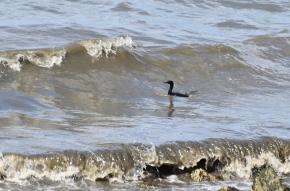 cormorant in waves