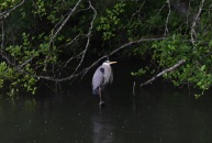 heron in the rain 3 this one