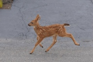 fawn deer this one