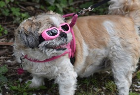 pup with sunglasses