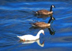 White Goose with Canada Geese